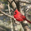 Red Cardinal Bird on the Tree - Stock Photo