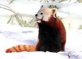 Red Panda enjoying Snow — Stock Photo