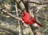Red Cardinal Bird on the Tree — Stock Photo