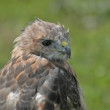 Red-Tailed Hawk Portrait - Stock Photo