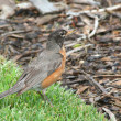 American Robin searching for food - Stock Photo