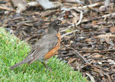 American Robin searching for food — Stock Photo