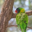 Rainbow Lorikeet smiling on the tree — Stock Photo