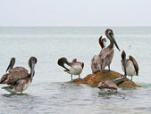 Brown Pelicans of Clearwater,Florida — Stock Photo