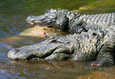 American Alligators of Florida — Stock Photo