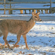 White-Tailed Deer walking on the snow — Foto Stock