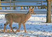 White-Tailed Deer walking on the snow — Stock Photo
