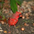 Male Red Cardinal searching for food — Stock Photo
