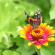 Vanessa Atalanta Butterfly on Orange and Pink Zinnia Flower — Stock Photo #21015353