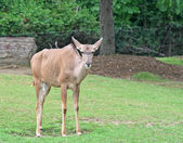 A Greater Kudu standing on the green grass — Stock Photo
