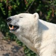 Royalty-Free Stock Photo: Polar Bear showing his teeth