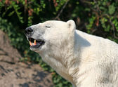 Polar Bear showing his teeth — Stock Photo