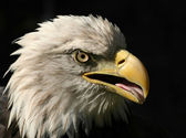 Portrait of An American Bald Eagle isolated on black — Stock Photo