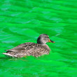 Female Mallard Duck  swimming in Green Dyed Canal Water - Stock Photo