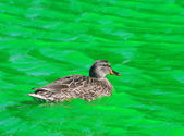 Germano reale femmine anatra nuoto in acqua verde tinto canal — Foto Stock