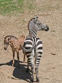 Giovane e la madre zebra in piedi — Foto Stock