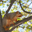 American Squirrel standing on The Tree Branch - Stock Photo