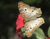 A White Peacock Butterfly feeding on red flower — Stock Photo