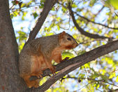 American Squirrel standing on The Tree Branch — Stock Photo