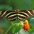 Stock Photo: ZebrLongwing (heliconius charithonia) Butterfly on LantanFlower