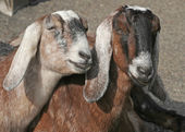 Two Female Goats — Foto Stock