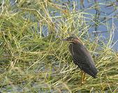 Wild Green Heron Bird standing in marsh grass — Stock Photo