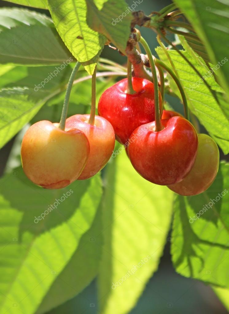 绿色的树叶与甜有机樱桃