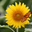 Dryas Julia Butterfly on Sunflower — Stock Photo