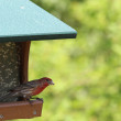 A Male House Finch eating a Sunflower seed from a Bird feeder — Stock Photo