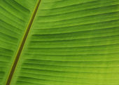 Green Banana Leaf Close up — Stock Photo