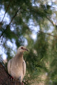 Portrait of a Pigeon — Stock Photo