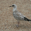 Foto Stock: Juvenile Seagull standing on sidewalk
