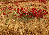 Red Poppy Flowers inside Wheat Field — Stock Photo