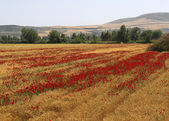 Red Poppy flowers in Wheat Field near small village — Stock Photo