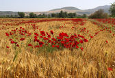 Red Poppies on yellow  wheat field — Stock Photo