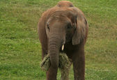 Close up Portrait of Baby African Elephant while feeding — Stock Photo