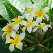 Stock Photo: Plumeria Alba Tree Blossoms