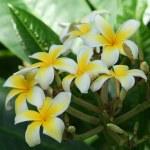 Plumeria Alba Tree Blossoms — Stock Photo