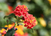 Red and Yellow Lantana flowers — Stock fotografie