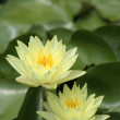 Yellow Waterlilies with green lily pads — Stock Photo #42434901