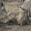 Two White Rhinos pushing each other from their horns — Stock Photo #42434917