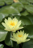Yellow Waterlilies with green lily pads — Stock Photo