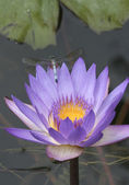 Dragonfly on purple Waterlily — Stock Photo
