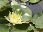 Yellow Waterlily with green lily pads — Stock Photo