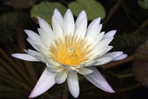 Close up of White and Purple Waterlily — Stock Photo