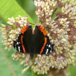 Red Admiral Butterfly (Vanessa atalanta) on milkweed flower — Stock Photo #42932665