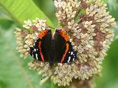Red Admiral Butterfly (Vanessa atalanta) on milkweed flower — Stock Photo