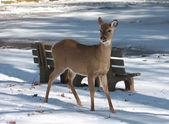White-tailed Deer eating food at park on snow — Stock Photo