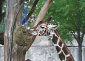 Cute Giraffe feeding at the zoo — Stock Photo