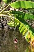 Banana Tree by the water — Stock Photo